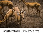 sika or sportted deer at the...   Shutterstock . vector #1424975795