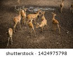 sika or sportted deer at the...   Shutterstock . vector #1424975798