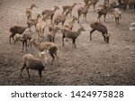 sika or sportted deer at the...   Shutterstock . vector #1424975828