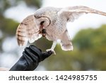 Stock photo cute barn owl tyto alba with large eyes sitting on the leather glove caught a mouse and eats her 1424985755