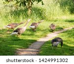 goose family at a lake   Shutterstock . vector #1424991302