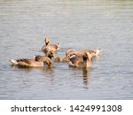 goose family at a lake   Shutterstock . vector #1424991308