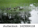 mother duck watches while her...   Shutterstock . vector #1425004118