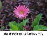 flower of daisy family in the...   Shutterstock . vector #1425008498