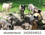 a wolf family in a zoo   Shutterstock . vector #1425014012
