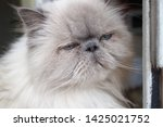portrait of a shaggy cat with... | Shutterstock . vector #1425021752
