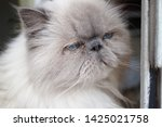 portrait of a shaggy cat with... | Shutterstock . vector #1425021758