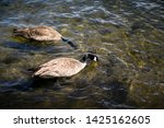 Two Canadian Geese Floating In...