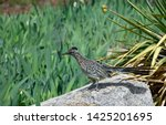 Young Road Runner Hunting For...