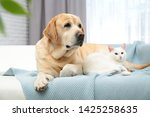 Stock photo adorable cat looking into camera and lying near dog on sofa indoors friends forever 1425258635