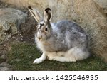 Stock photo mountain hare lepus timidus also known as the white hare 1425546935