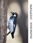 Small photo of Acorn Woodpecker on Tree