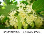 Flowers Blossoming Tree Linden...