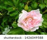 Stock photo rose hip flower close up white pink rose hip flower rose hip flower macro view rose hip flower 1426049588