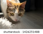 cat looks into the camera.... | Shutterstock . vector #1426251488