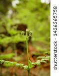 ferns growing in natural... | Shutterstock . vector #1426365758