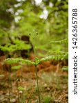 ferns growing in natural... | Shutterstock . vector #1426365788