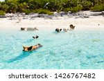 Small photo of Pigs swimming in the beaches of the Bahamas