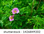 Wild Pink Rose In Nature....