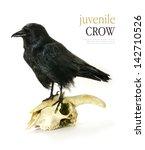 studio image of a juvenile crow ... | Shutterstock . vector #142710526