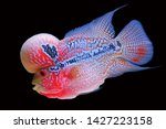 Flowerhorn Fish Isolated Red...