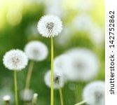 beautiful white dandelion... | Shutterstock . vector #142752862