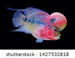 Flowerhorn Cichlid Fish...