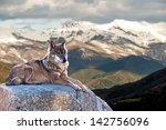 Small photo of Iberian wolf lying on rocks on a snowy mountain watching while sunbathing on a warm day