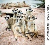 Suricate Or Meerkat Family