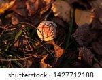 Amanita Mushroom Close Up Sunn...