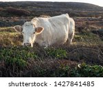 White Cow Grazing Grass In A...