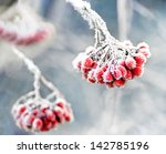 Bunch Of Rowan Berries With Ic...