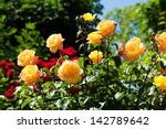 Stock photo roses in garden 142789642
