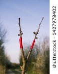 Small photo of Ennobled cherry tree with blurred background