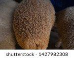 fleece texture of a young lamb | Shutterstock . vector #1427982308