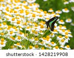camomile herb field and green... | Shutterstock . vector #1428219908