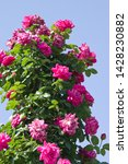 the name of this rose is ... | Shutterstock . vector #1428230882