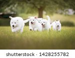 Stock photo cute white puppies running in grass white shepherd puppies berger blanc suisse cute dogs 1428255782