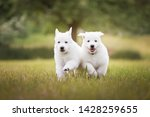 Stock photo two cute white puppies running in grass white shepherd puppies berger blanc suisse cute dogs 1428259655