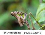 Tailed Jay Swallowtail...