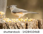 Small Grey Tufted Titmouse Son...