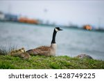 Goose Along With Goslings...