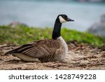Goose Siting On The Beach Shor...