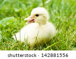Baby Duck In Green Grass...