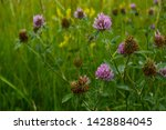 Red Clover Growoing In The Ope...