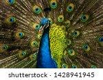 A Peacock Closeup Fanning Its...