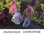 The colorful of discus are swimming in aquatic plants tank. Symphysodon is one of the most beautiful fish in an aquarium. They are native to the Amazon river basin in South America.