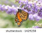 Regal Monarch