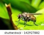 Small photo of Coenosia tigrina - Tiger fly