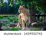 Beautiful Lioness On Green...